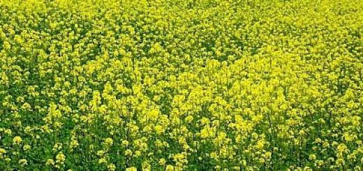 Moutarde anabolisante