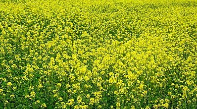homobrassinolide et effets anabolisants sur le muscle moutarde